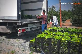 İsotlar Tarım Bahçelerinde 2020 Mandalina ve Limon Hasadı Başladı!